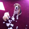 Flagrante de crime cometido por beagle que estava no Royal
