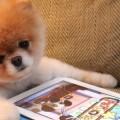 Um Lulu da Pomerânia (hétero) preocupadíssimo com sua nota no Lulu (app)