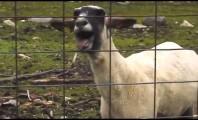 Nenhuma ovelha foi morta (apenas) para obtenção de suas tripas