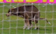 cachorro cagando em campo